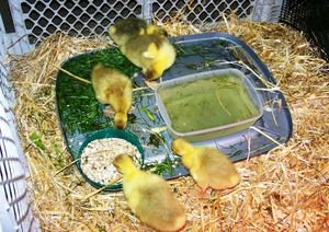 Priporočeni vir za goslings od dva do sedem dni