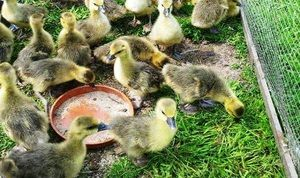 Opis prehrane tedenskih goslings doma