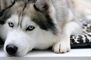 Kaj je treba hraniti Husky - nasvet o prehrani doma