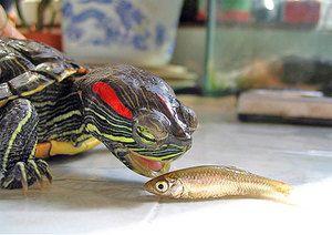 Kaj je nahraniti rdeče-želve želve