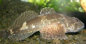 Črno-morski ribji goby: značilnosti, vrste in ulov morskega bika