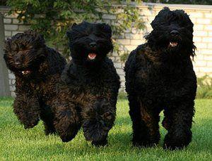 Črni terier: slavni ruski pes