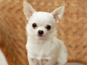 Chihuahua: vzdrževanje in skrb za mladička