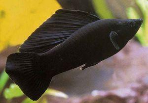 Črna lepota - molliesia akvarijske ribe. Reja in oskrba