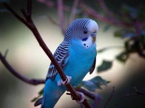Kaj je nahraniti valoviti papagaji