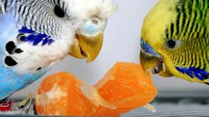 Hranjenje valovitega papiga