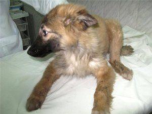 Vreča za pse: znaki, simptomi, zdravljenje