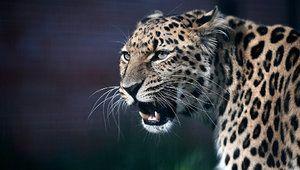Daljni vzhod (Amur) leopard: opis in območje