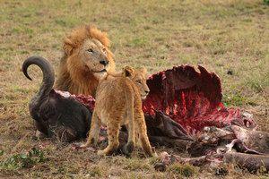 Divji plenilci Afrike, značilnosti vrst