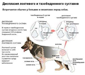 Hip displazija pri psih