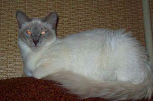 Dolgoročne orientalske mačke: opis pasme