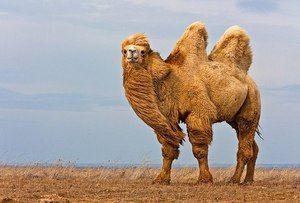 Dvokrilne kamele, njihovo ime, koliko tehtajo