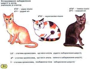 Koliko kromosomov pri mačkah
