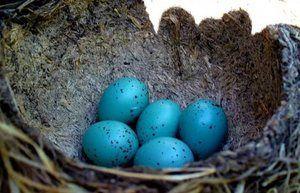 Modra jajca. Katere ptice imajo modre jajce