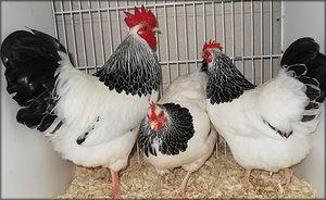 Značilnosti pasme piščancev Sussex
