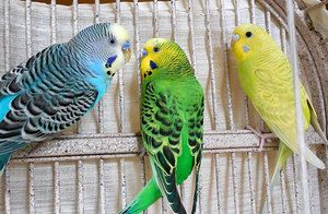 Valoviti papagaji