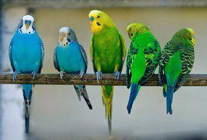Skupina valovitih papagaj