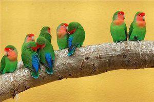 Nerazluchniki - neke vrste papagaji
