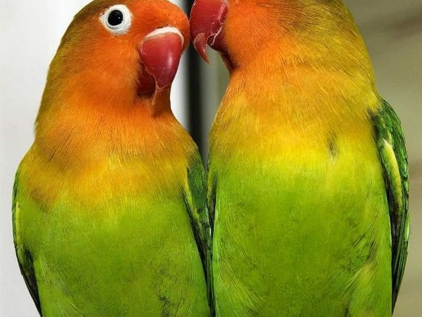 Par parazitov papagaja