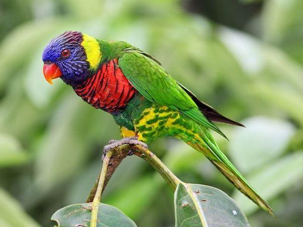 Parrot Laurie - mavrica papiga