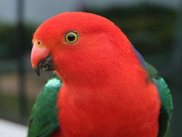Kraljevi papagaji