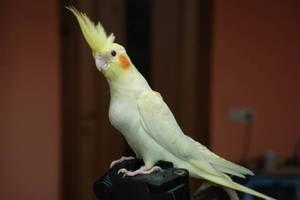 Skrb za papiga papiga