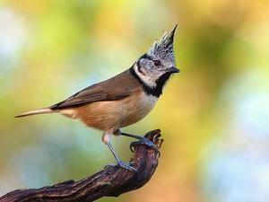 Crested titmouse: način življenja grebene ptice - zdravnik v gozdu