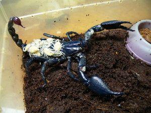 Kako rastejo kraljevski škorpijon