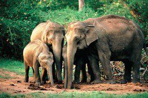 Indijski ali azijski slon: značilnosti vrste