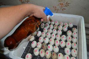 Pravila za polaganje jajc v inkubatorju