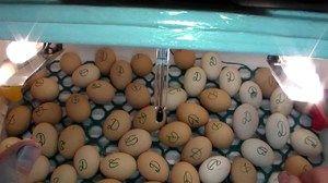 Inkubacija rakovih jajc