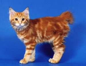 Japonski Bobtail - mačka
