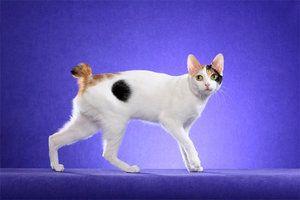 Japonski Bobtail Cat