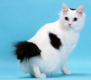 Mačka japonski Bobtail -interestirajoča mačka