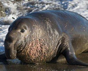 Slon Južnega morja in severno: habitati in značilnosti vrste