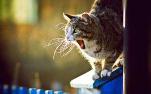 Kako pogosto in koliko dni mačka hodi?