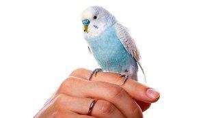 Kako hitro naučiti papagaja za pogovor