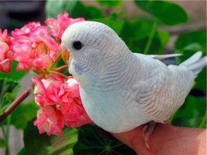 Kako imenovati parakeet