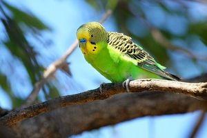 Načini poznavanja starosti valovitega papiga