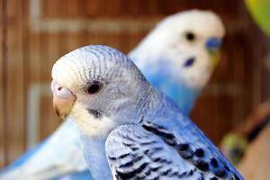 Nasveti o tem, kako enostavno je poznati starost valovitega papiga