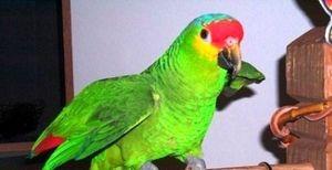 Kako razložiti sanje o papagaji