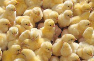 Kako pravilno prepoznati simptome bolezni pri piščancih in jih obravnavati