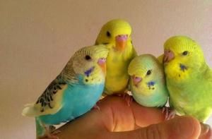 Skrb za parrot