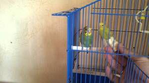 Kako navaditi papige v svoje roke