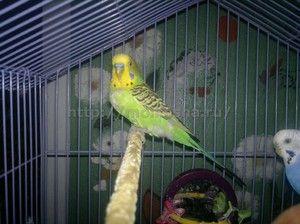 Kako ohraniti papiga