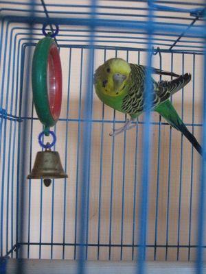Izbira kletke za papigo