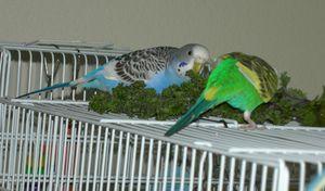 Kako skrbeti za papige