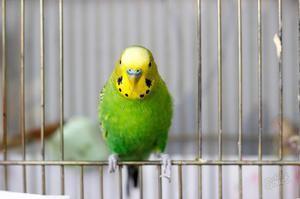 Parrot v kletki