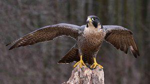 Katera ptica je najhitrejša na svetu
