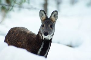 Taiga mošusni jelen